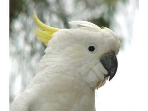 perroquet blanc