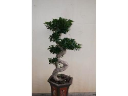 Plante solitaire