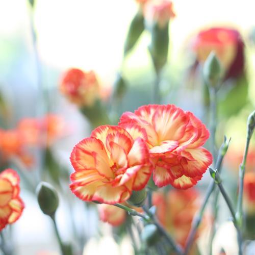 Flower Werding Differdange luxembourg fleur Oeillet
