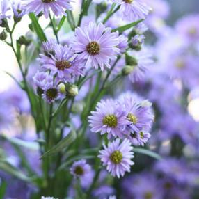 Flower Werding Differdange luxembourg fleur Marguerite