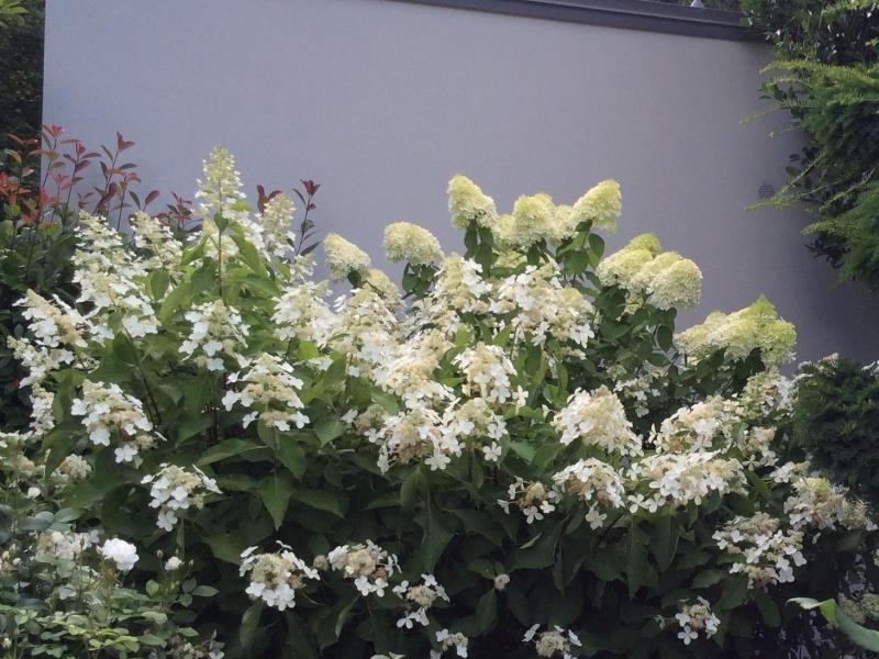 Hydrangea en pleine floraison